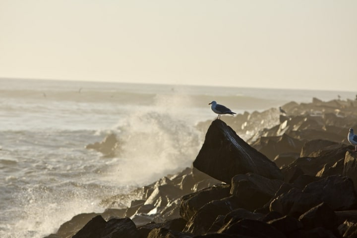 Sea gull watching the waves on Heceta Beach near Florence, Oregon during February 2012